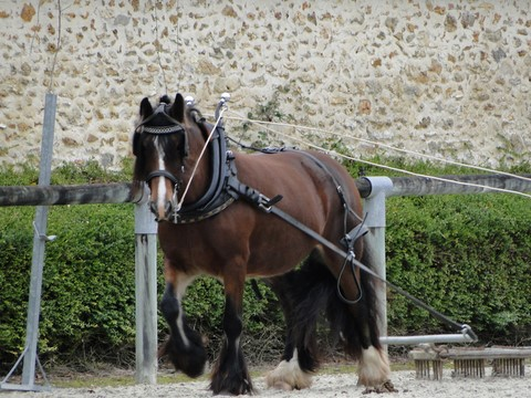 jument irish cob, traction agricole, elevage des maziers